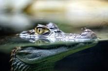 Crocodilo mata criança no centro de Moçambique
