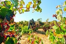 Produção de vinho sobe mais de 50% no Algarve