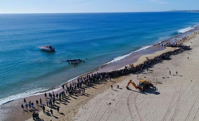Cachalote foi salvo na praia de Monte Gordo