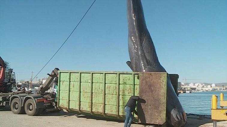 Cachalote sem vida dá à costa em Olhão