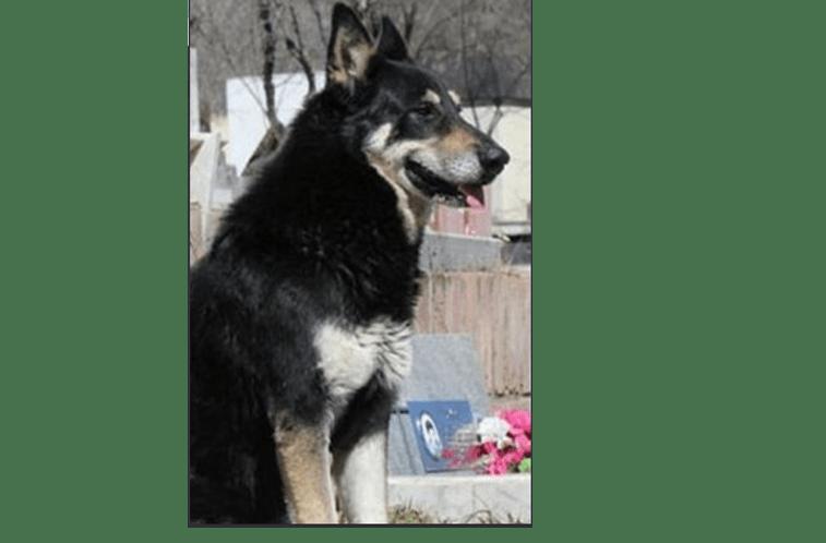 Morreu o cão que guardou túmulo do dono durante dez anos