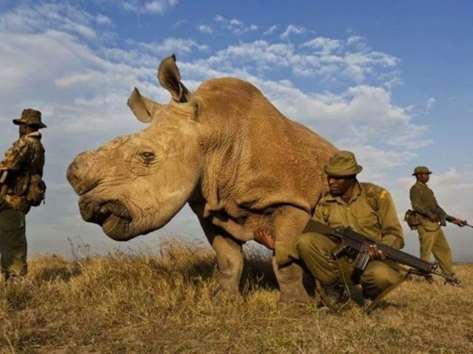 Morreu Sudan, o último rinoceronte-branco macho