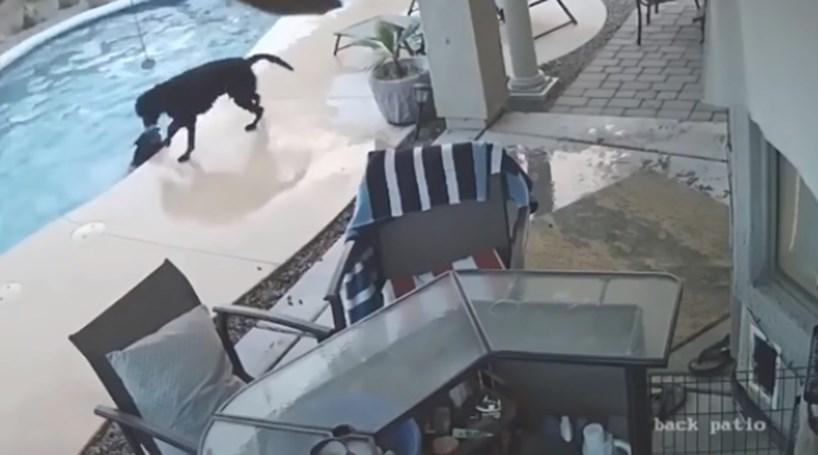 VÍDEO: cão salva outro cão de afogamento em piscina nos EUA