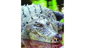 Aligátores espalham terror na Florida