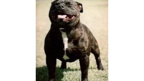 Cão perigoso capturado na Culatra