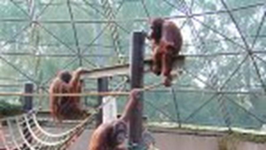 Os orangotangos vivem praticamente só em árvores, deslocando-se pelos seus ramos