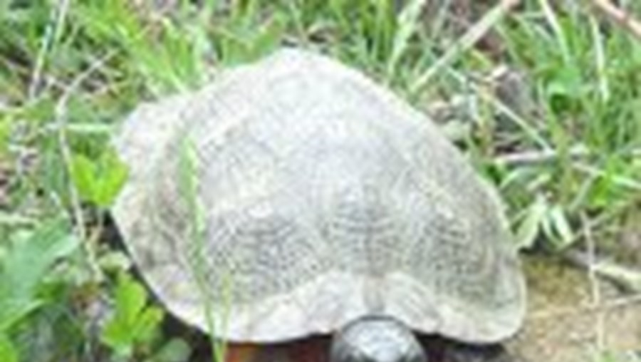 As tartarugas marinhas existem há mais de 150 milhões de anos