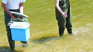Rio Sousa recebe larvas de lampreia