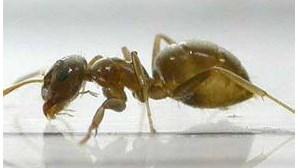 Formiga ameaça Portugal