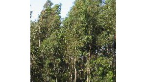 Área de eucalipto vai diminuir em Portugal