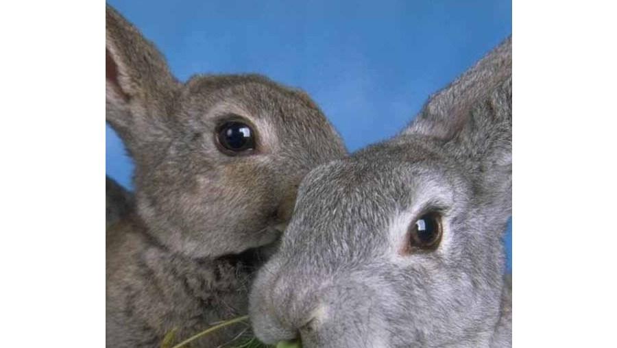 Obsessão por coelhos dá prisão