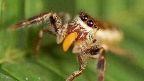 Descoberta aranha herbívora na América