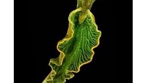 Descoberto animal que faz fotossíntese