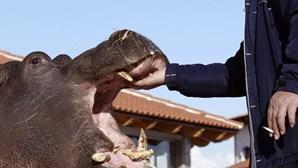 Hipopótamo foge de jardim zoológico