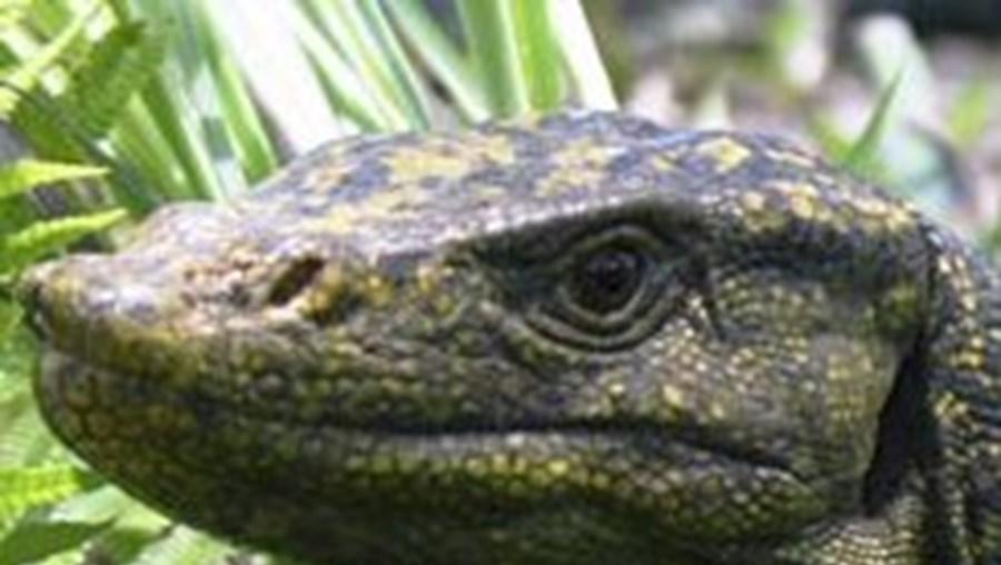 Varanus bitatawa apresenta algumas semelhanças com o Dragão-de-Komodo