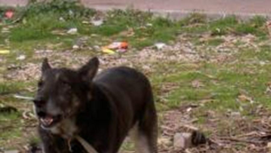 Moçambique: Cães vadios matam três pessoas