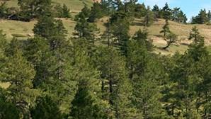 Furto de pinhas vale 10 milhões