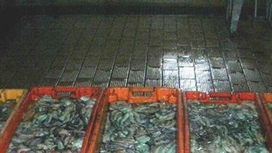 """O pescado foi apreendido pelos militares da UCC """"mesmo à saída do porto de pesca da Fuseta"""""""