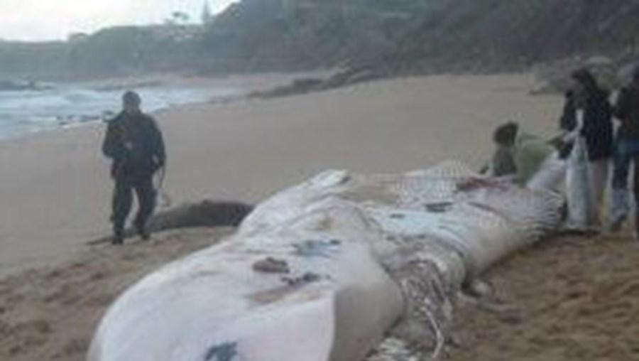 Protecção Civil iniciou operação para remover animal de 17 metros