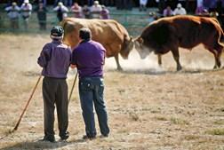 Hoje, as chegas de bois são, na sua maioria, de raças cruzadas. No entanto, ainda se realiza a competição oficial de raça barrosã
