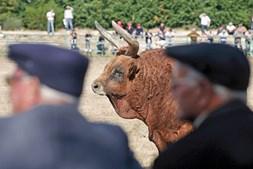 Cada boi pesa cerca de oitocentos quilos. Actualmente, existem registados no concelho de Montalegre cerca de meia centena de bois desta raça
