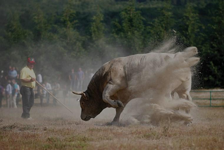 O pau de junco serve para castigar, guiar e afagar o boi. Os  donos, e também o público, incitam o animal à luta com o grito de 'eh, boi!'