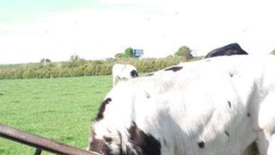 Vaca com a cabeça entalada