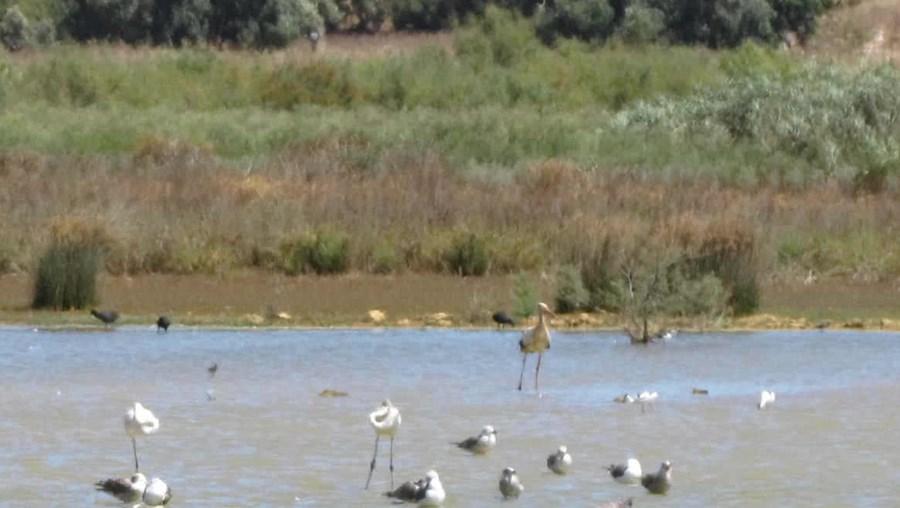 Lagoa dos Salgados é um dos principais locais de observação de aves aquáticas da região