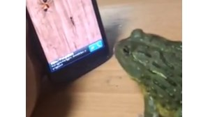 Sapo real filmado a jogar num telemóvel (COM VÍDEO)