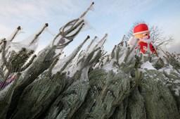 Na Polónia, os pinheiros estão a fazer sucesso