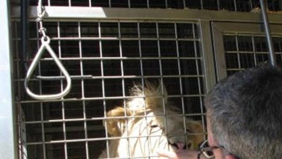 Em média, há no mínimo dois a quatro grandes felinos apreendidos por ano, entre leões e tigres (foto de arquivo)