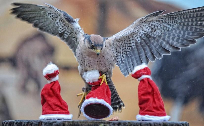 Falcão num zoo alemão também 'celebrou' o Natal