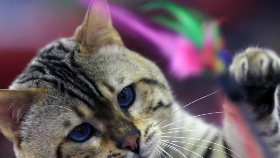 O parasita 'T. gondii' é transmitido pelos gatos