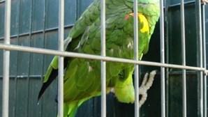 GNR apreende 151 papagaios