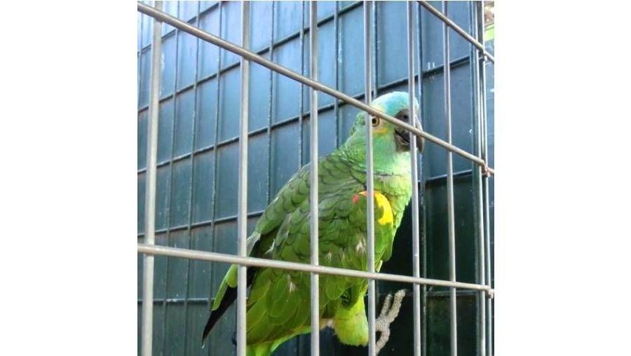 Papagaios eram criados sem licença numa propriedade isolada em Santa Bárbara de Nexe, a norte de Faro