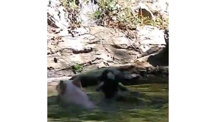 O porco começa a nadar até à cabra, empurrando-a até uma das margens
