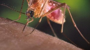 Dengue: Uma pessoa infectada na Madeira identificada no Reino Unido