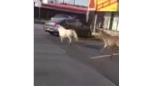 Zebra e pónei em fuga nas ruas de Nova Iorque (COM VÍDEO)