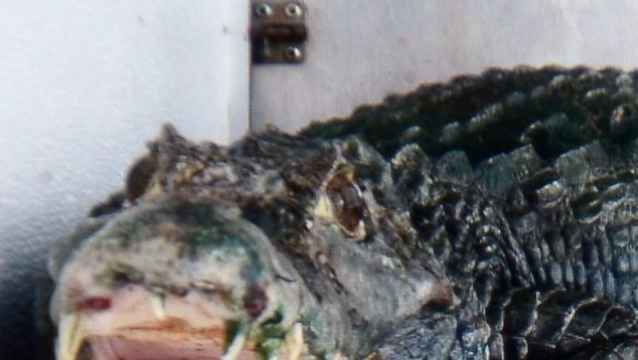 CROCODILO, EUA, ERVA, CANÁBIS