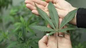 EUA: Colorado legaliza marijuana