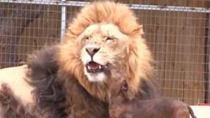 Cão lambe boca e brinca com leão