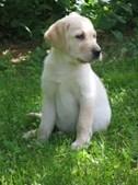 7º - Labrador Retriever