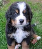 22º - Bernese Mountain Dog