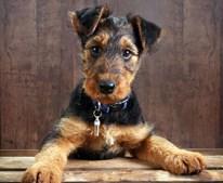 29º - Airedale Terrier