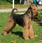 29º - Airedale Terrier