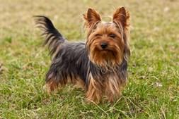 27º - Yorkshire Terrier