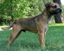 30º - Border Terrier