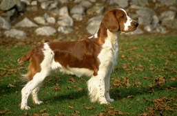 31º - Welsh Springer Spaniel