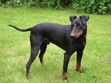 32º - Manchester Terrier