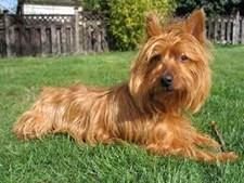 34º - Terrier Australiano